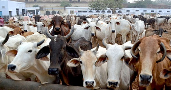 Cow numbers in India see sharp increase since 2012