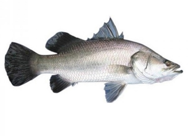 18.5 kg fish fetches Rs 12,000 in Bengal